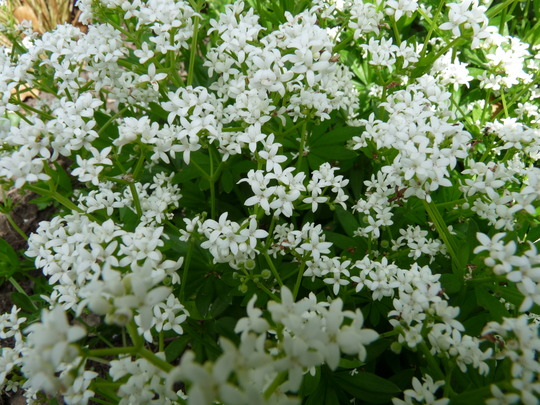 Woodruff (Woodruff    Asperula Odorata)