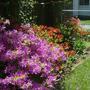 Azaleas - front garden
