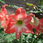 bought as Apple Blossom but...i doubt it! (Hippeastrum)