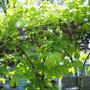 Akebia - chocolate vine