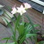 Amaryllis Blossom Peacock with bulblets
