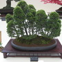 More Bonsai