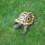 turkish tortoise