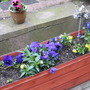 pansies and graniums.