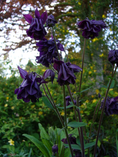 A dark aqueligia (Aquilegia sp)