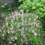 Lathyrus vernus 'Albo-roseus' (Lathyrus vernus 'Albo-roseus')