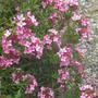 Daphne_cneorum__Eximia__flowers.jpg