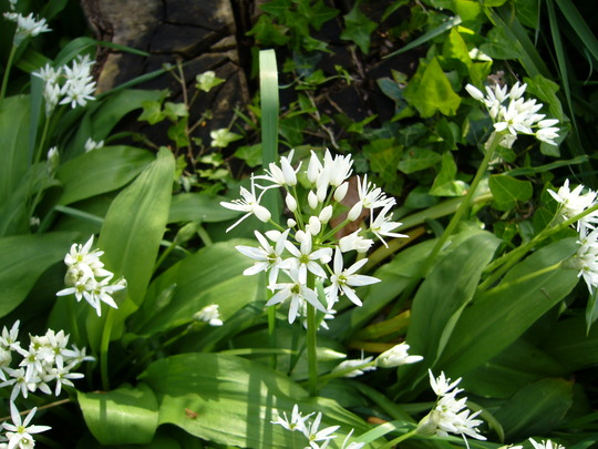 Ramsons or wild garlic (Allium ursinum (Ramsons))