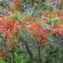 Embothrium_cocc._flowers.jpg