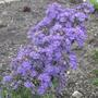 Olearia__Comber_s_Blue__flowering_branch.jpg