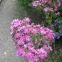 Olearia__Comber_s_Pink__flower_head.jpg