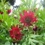 Paeonia_delavayi_flower_M.jpg