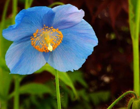 "Himalayan poppy ""Lingholm"" (Meconopsis betonicifolia (Himalayan blue poppy))"