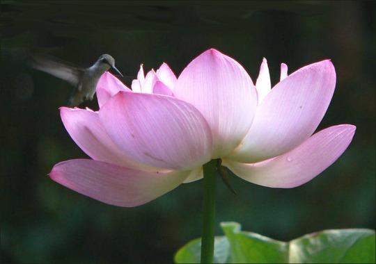 Admiring the Beauty (Nelumbo lutea (American Lotus))
