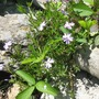phlox subulata...and strawberry like the rocks and the south facing slope