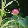 Lotus Rosa Plina with Giant Reed Grass (Nelumbo lutea (American Lotus))