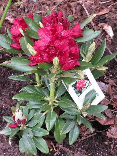Rhododendron 'Henry's Red' (Rhododendron 'Henry's Red')