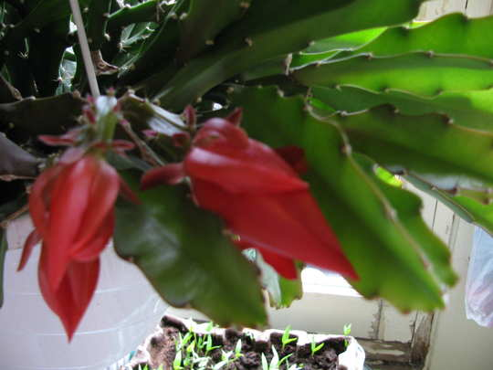 Lots of flowers buds on this plant (Srlenphyllumx cooperi syn. epiphyllum crenatum)