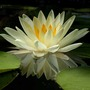 Waterlily_reflection_closer_6_12_05_exc