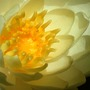 Waterlily_bloom_first_6_17_02