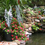 Alocasia_waterfall_good_7_27_02
