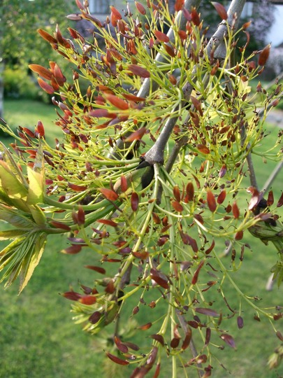 Ash tree flowers (Fraxinus excelsior (Common Ash) pendula)