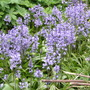 Spanish bluebells (Hyacinthoides non-scripta (Bluebell))