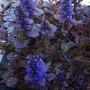Ajugaflowers