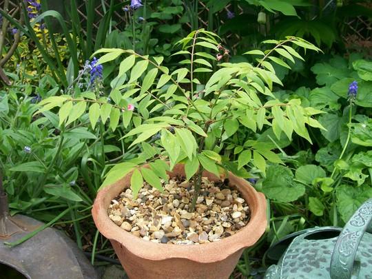 Baby Burning Bush... (Euonymus alatus (Winged spindle))