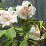Unknown name , climbing rose 