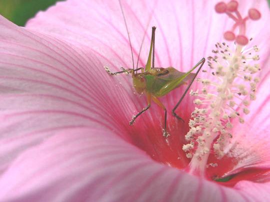 YUM (Hibiscus moscheutos)