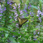 Tiger_st_on_lobelia_9_09_06_exc_sm