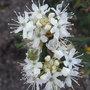 Ledum groenlandicum - 2009 (Ledum groenlandicum)