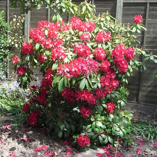 rhododendron 39 nova zembla 39 2009 grows on you. Black Bedroom Furniture Sets. Home Design Ideas