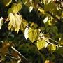Cercidiphyllum