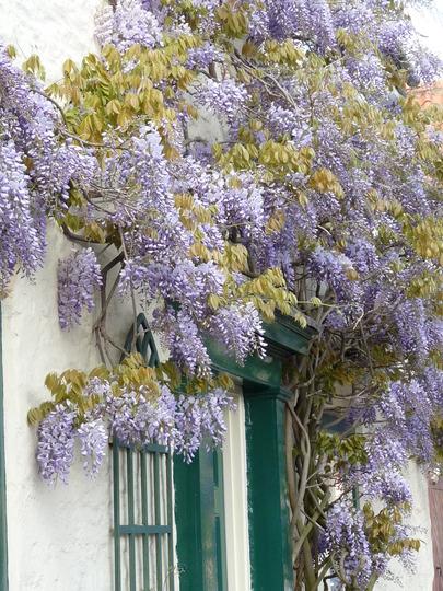 Wonderful Wisteria (Wisteria sinensis (Chinese wisteria))