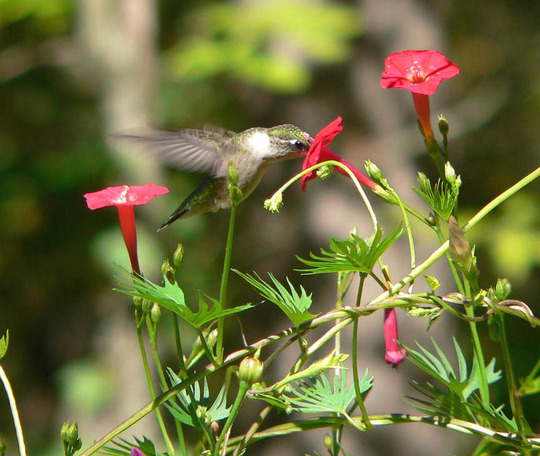 Cypress Viine with hummer nectaring