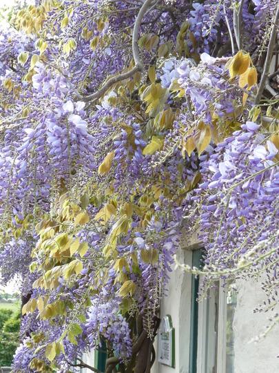 Wisteria 2 (Wisteria sinensis (Chinese wisteria))