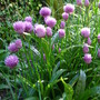 Chives at the ready! (Allium schoenoprasum (Chives))