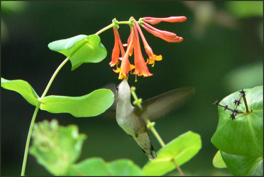 "Nectaring on honeysuckle (Lonicera ""Dropmore Scarlet"")"