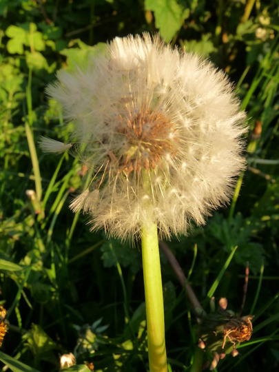 Dandelion Clock....:o( (Taraxacum officinale (Dandelion))