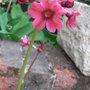 Primula_japonica_millers_crimson_