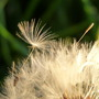 Oh...no I can see some more growing!! (Taraxacum officinale (Dandelion))