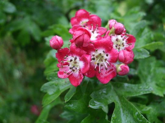 Crataegus laevigata 'Crimson Cloud' (Crataegus laevigata (Midland hawthorn))