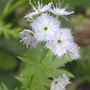 Miami Mist Close (Phacelia purshii)