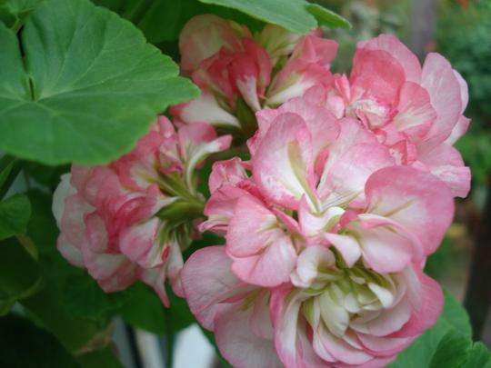 Pelargonium Apple Blossom