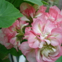 Pelargonium Apple Blossom