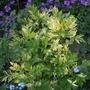 Artemisia_oriental_limelight_