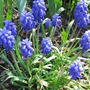 grape hyacinth (Muscari armeniacum (Grape hyacinth))