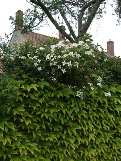 Clematis montana over the stream wall. (Clematis montana (Clematis))